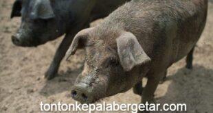 wild-boar-babi-hutan-hog-AFP-151220-1